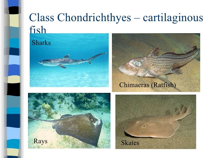 the different types of sharks that belong to the class chondrichtyes Background information general shark information: sharks belong to the class chondrichthyes different shark species identify species of sharks.