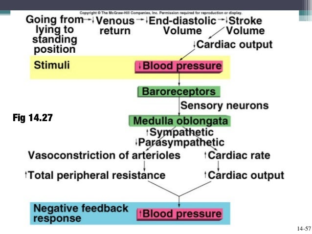 Cardiac Output Blood Flow And Blood Pressure