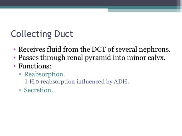 Collecting Duct • Receives fluid from the DCT of several nephrons. • Passes through renal pyramid into minor calyx. • Func...