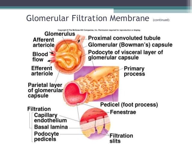 Glomerular Filtration Membrane (continued) Insert fig. 17.8