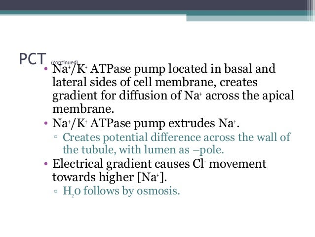 PCT (continued) • Na+ /K+ ATPase pump located in basal and lateral sides of cell membrane, creates gradient for diffusion ...