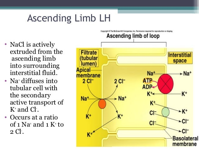Ascending Limb LH • NaCl is actively extruded from the ascending limb into surrounding interstitial fluid. • Na+ diffuses ...