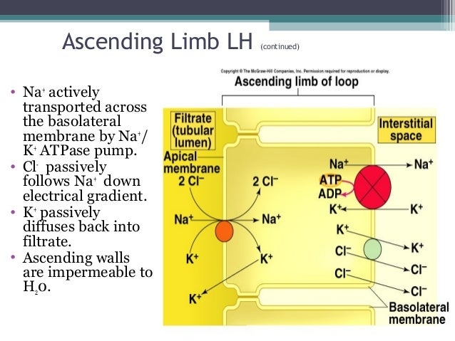 Ascending Limb LH (continued) • Na+ actively transported across the basolateral membrane by Na+ / K+ ATPase pump. • Cl- pa...