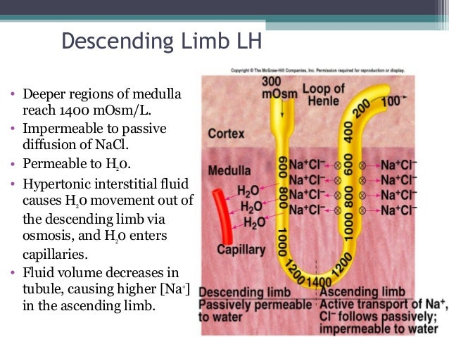 Descending Limb LH • Deeper regions of medulla reach 1400 mOsm/L. • Impermeable to passive diffusion of NaCl. • Permeable ...