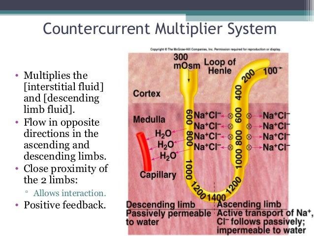 Countercurrent Multiplier System • Multiplies the [interstitial fluid] and [descending limb fluid]. • Flow in opposite dir...