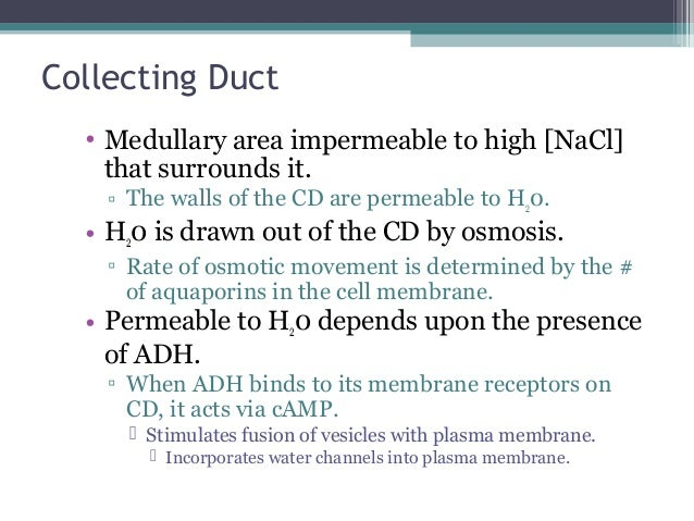 Collecting Duct • Medullary area impermeable to high [NaCl] that surrounds it. ▫ The walls of the CD are permeable to H20....