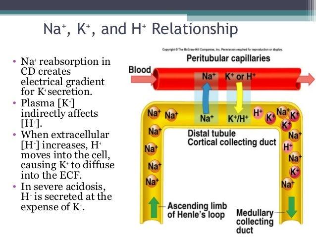 Na+ , K+ , and H+ Relationship • Na+ reabsorption in CD creates electrical gradient for K+ secretion. • Plasma [K+ ] indir...