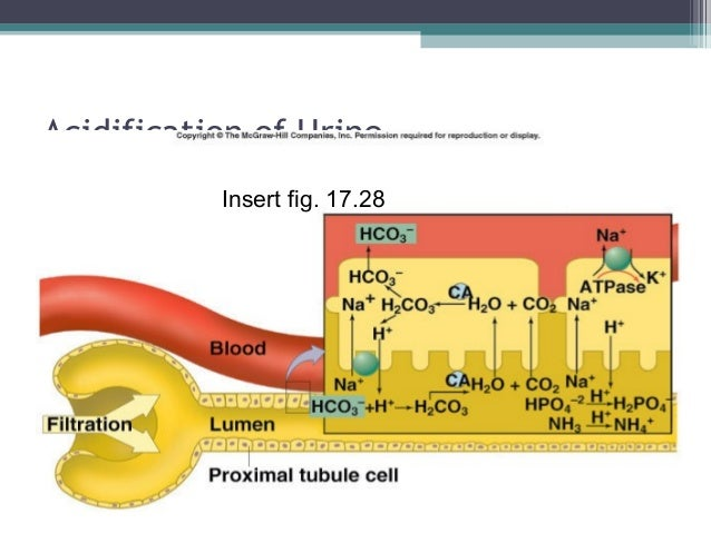 Acidification of Urine Insert fig. 17.28