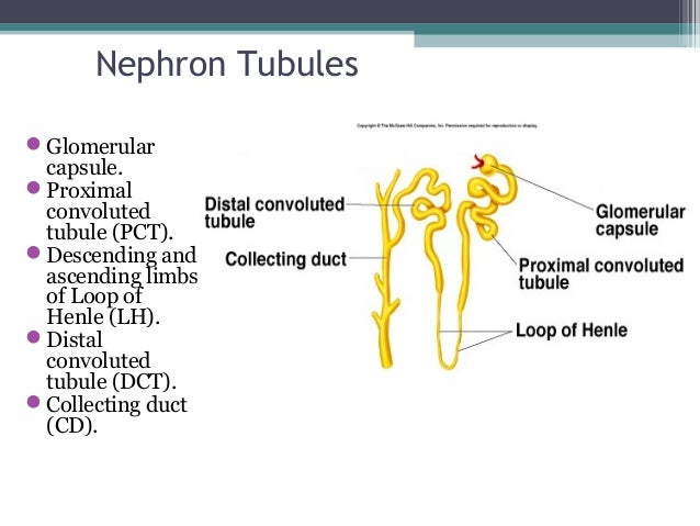 Nephron Tubules Glomerular capsule. Proximal convoluted tubule (PCT). Descending and ascending limbs of Loop of Henle (...