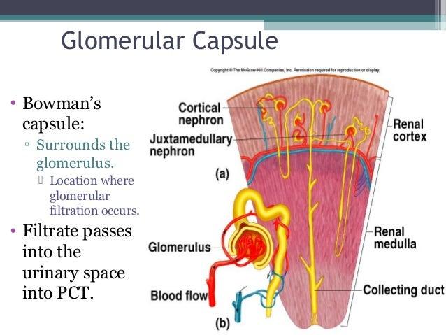 Glomerular Capsule • Bowman's capsule: ▫ Surrounds the glomerulus.  Location where glomerular filtration occurs. • Filtra...