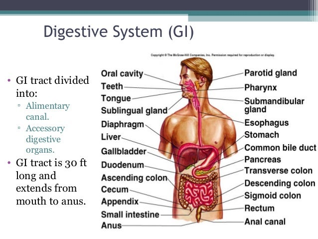 the digestive system, Human Body