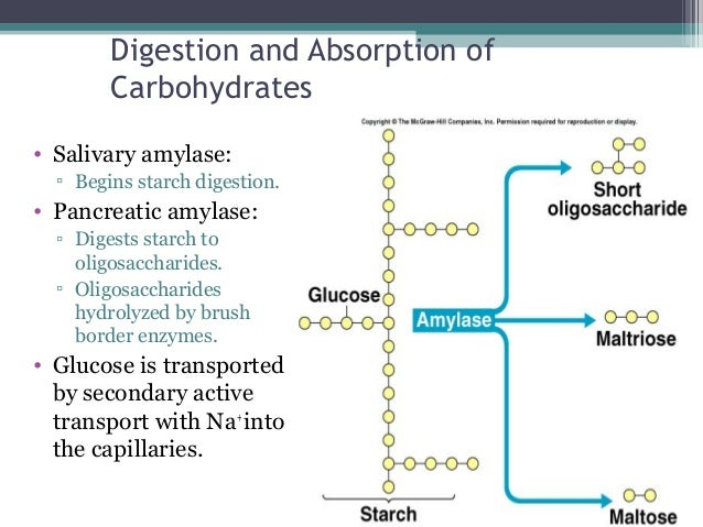 starch digestion by pancreatic amylase Amylase is an enzyme produced in the mouth and pancreas that breaks  are  large starch molecules that are broken down into disaccharides,.
