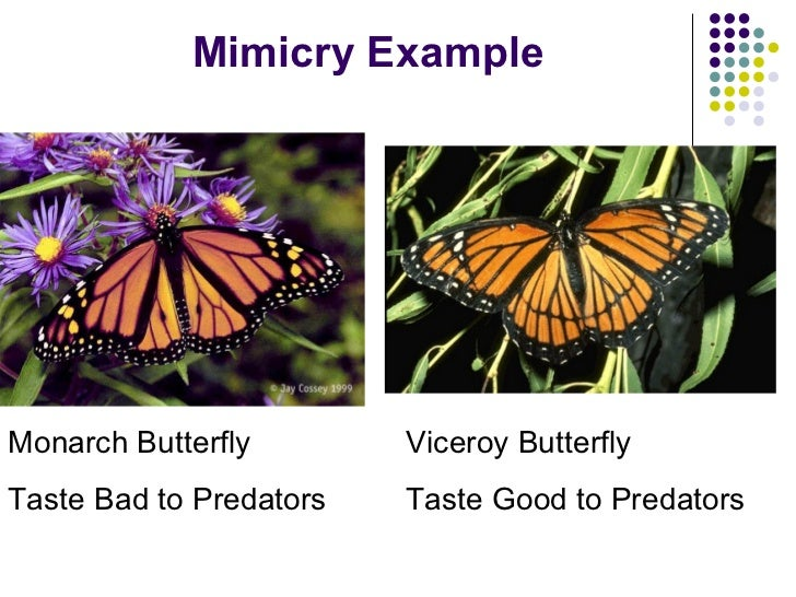 testing mimicry in butterflies Batesian mimicry describes a relationship between two organisms - where one that is harmless looks almost exactly like one that is harmful in this.