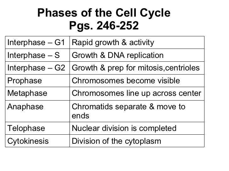 Phases of the Cell Cycle Pgs. 246-252 Interphase – G1 Rapid growth & activity Interphase – S Growth & DNA replication Inte...
