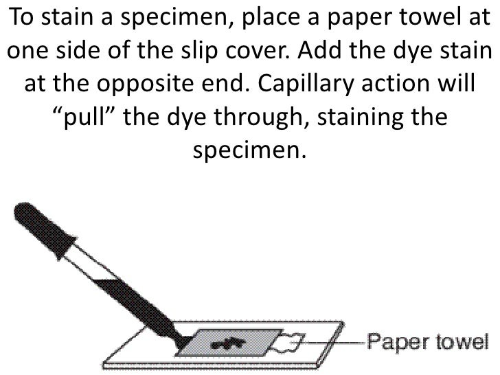 To stain a specimen, place a paper towel atone side of the slip cover. Add the dye stain at the opposite end. Capillary ac...