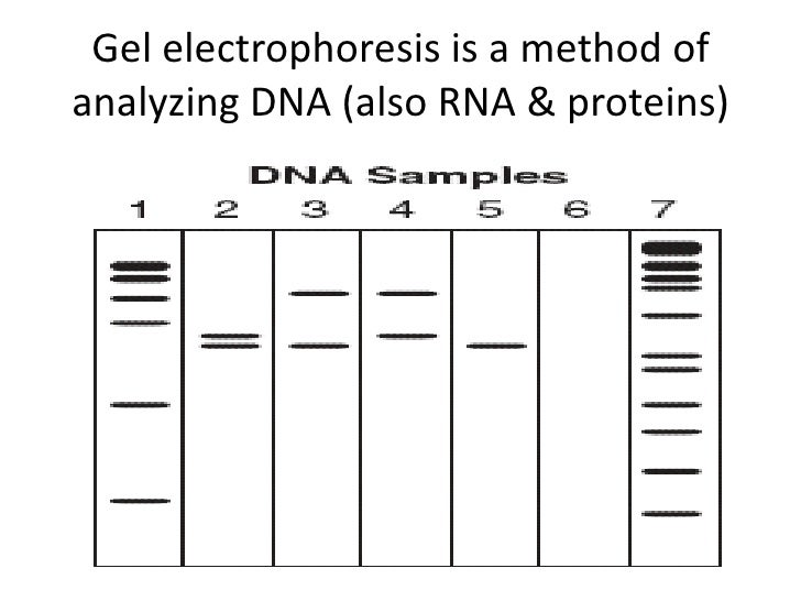 The DNA (or RNA & proteins) samples are put into wells on the gel and an electric current is run. The electricity makes th...