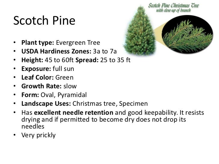 8 - Type Of Christmas Trees