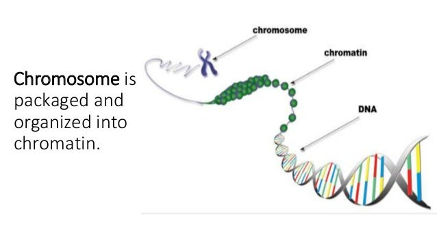 chromatin and chromosomeschromosome is packaged and organized into chromatin