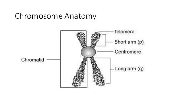 Anatomy of a chromosome
