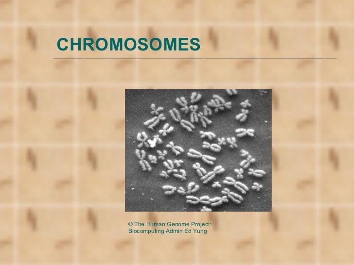 CHROMOSOMES     © The Human Genome Project:     Biocomputing Admin Ed Yung