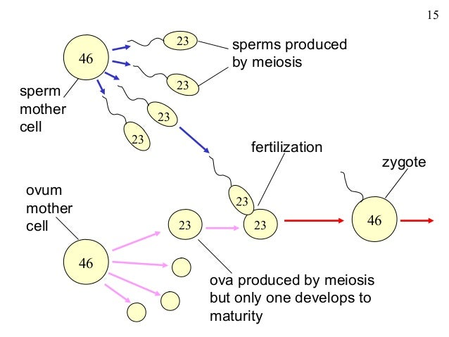 cell division mitosis and meiosis Old cells split into new cells and the formation of new cells is known as cell division or cell production this was firstly observed by flemming in 1882 but an.