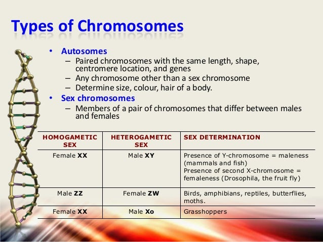 Types of Chromosomes • Autosomes  – Paired chromosomes with the same length, shape, centromere location, and genes – Any c...