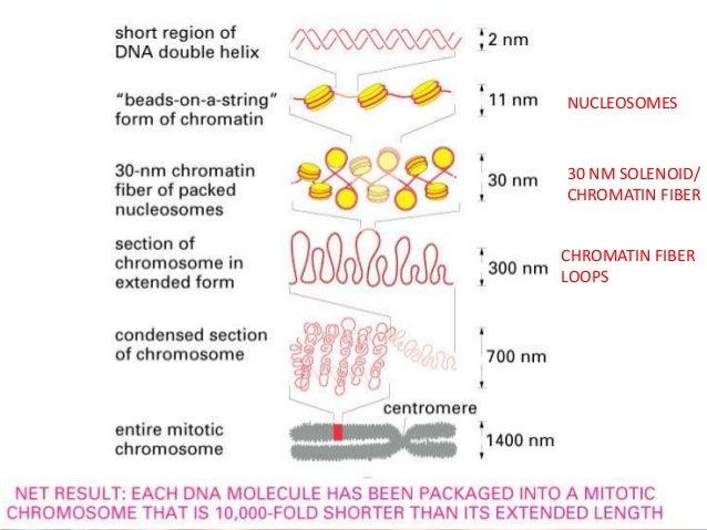 NUCLEOSOMES  30 NM SOLENOID/ CHROMATIN FIBER CHROMATIN FIBER LOOPS