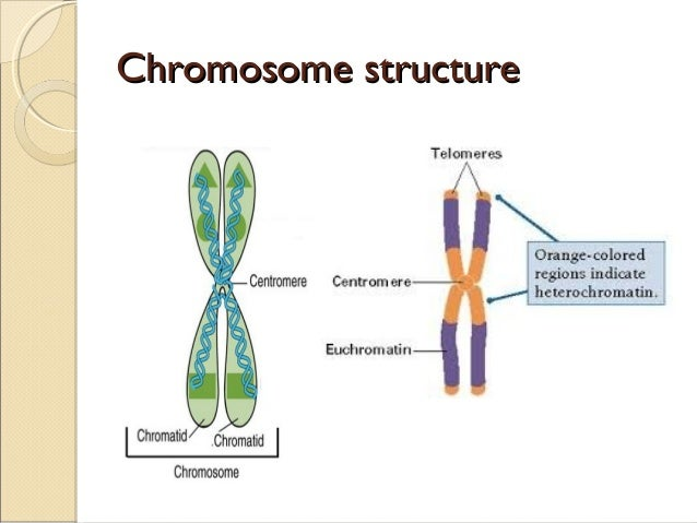 cell diagram with chromosomes gallery