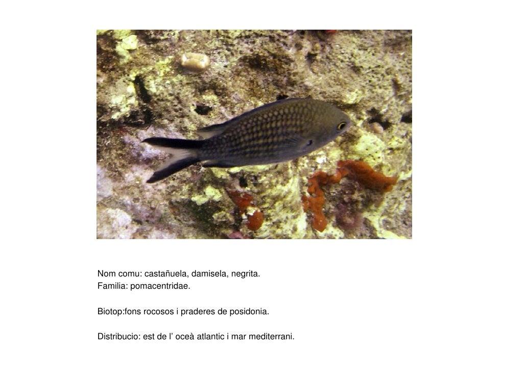 Nom comu: castañuela, damisela, negrita. Familia: pomacentridae.  Biotop:fons rocosos i praderes de posidonia.  Distribuci...