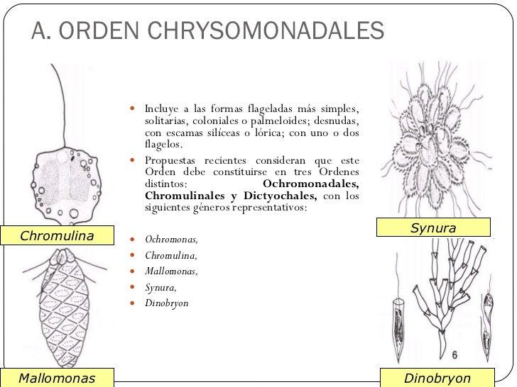 diagram of chrysophyta schematic wiring diagram