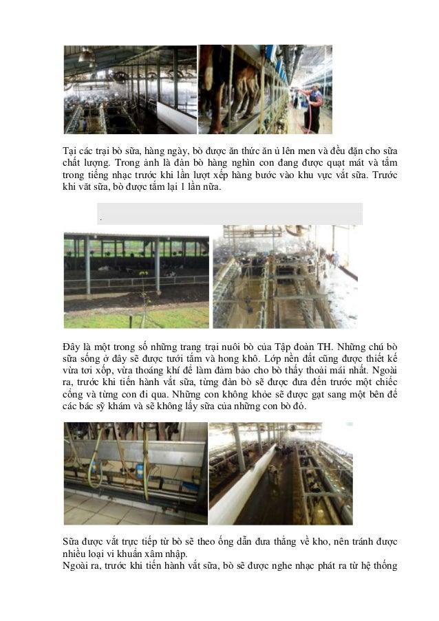 Tại các trại bò sữa, hàng ngày, bò được ăn thức ăn ủ lên men và đều đặn cho sữa chất lượng. Trong ảnh là đàn bò hàng nghìn...