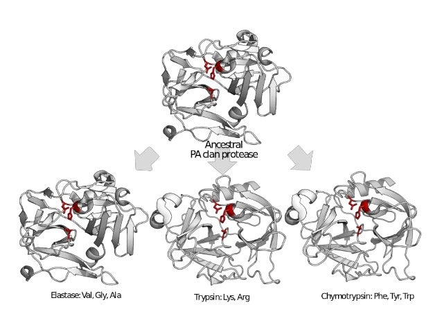 Chymotrypsin Serine Protease Mechanism