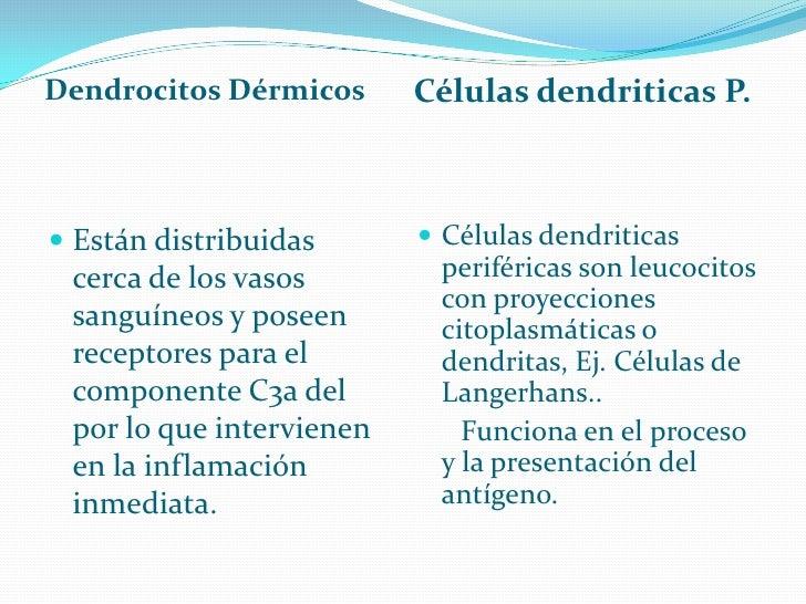 Dendrocitos Dérmicos      Células dendriticas P.     Están distribuidas       Células dendriticas   cerca de los vasos  ...