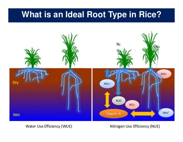 rice root physiology work at ciat identification of ideal root system to improve water and nitrogen uptake under stress conditions 4 638?cb=1478709868 schwinn s350 electric scooter service manual