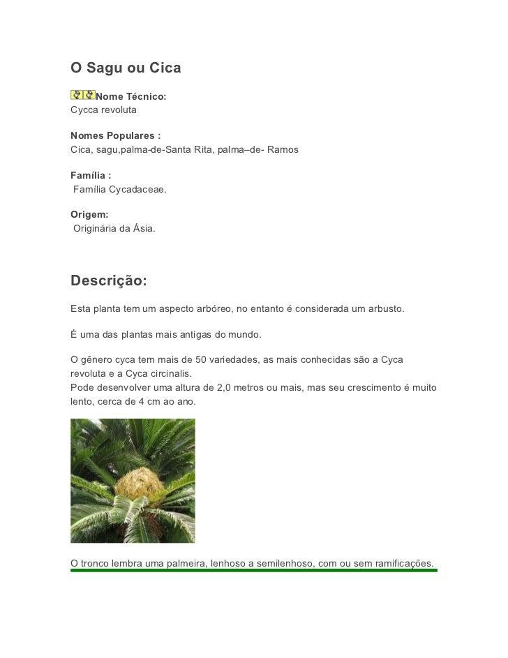 O Sagu ou Cica     Nome Técnico:Cycca revolutaNomes Populares :Cica, sagu,palma-de-Santa Rita, palma–de- RamosFamília :Fam...