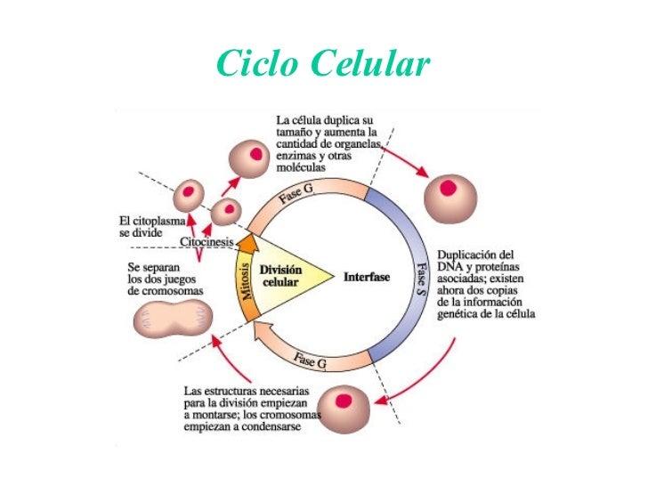 ciclocelular16728jpgcb1177077827
