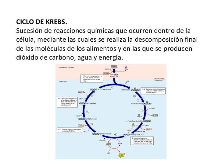 CICLO DE KREBS. Sucesión de reacciones químicas que ocurren dentro de la célula, mediante las cuales se realiza la descomp...