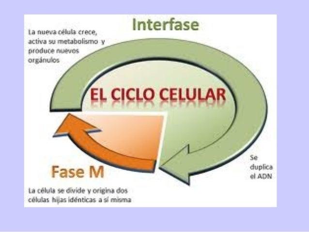 El ciclo celular (también llamado ciclo de división celular) es una secuencia de sucesos que conducen primeramente al crec...