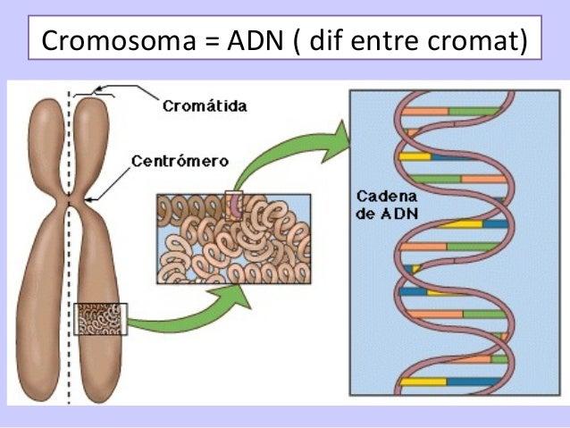 • La cromatina se condensa y los cromosomas se hacen visibles. Se organizan el huso. Se desintegra el nucléolo y la envolt...