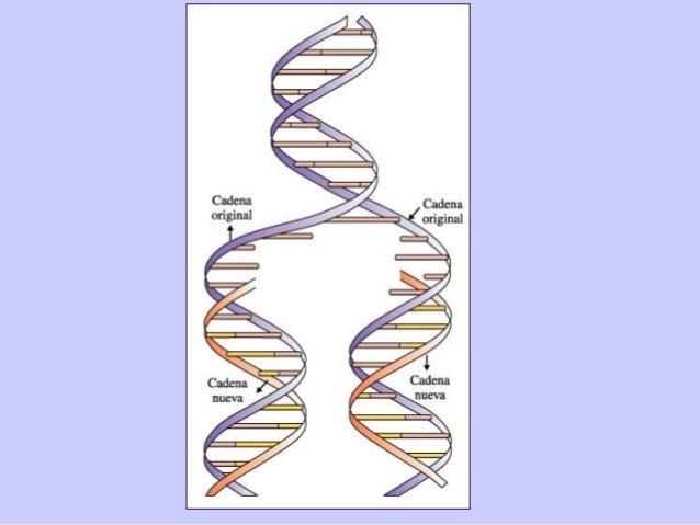 Haploide y diploideHaploide y diploide  Cada organismo tiene un número de cromosomas (ADN) característico de su especie ...