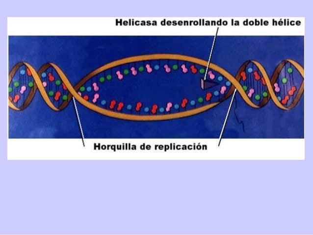 el centrómero es más o menos central y los brazos son de aproximadamente igual longitud el centrómero está alejado del cen...