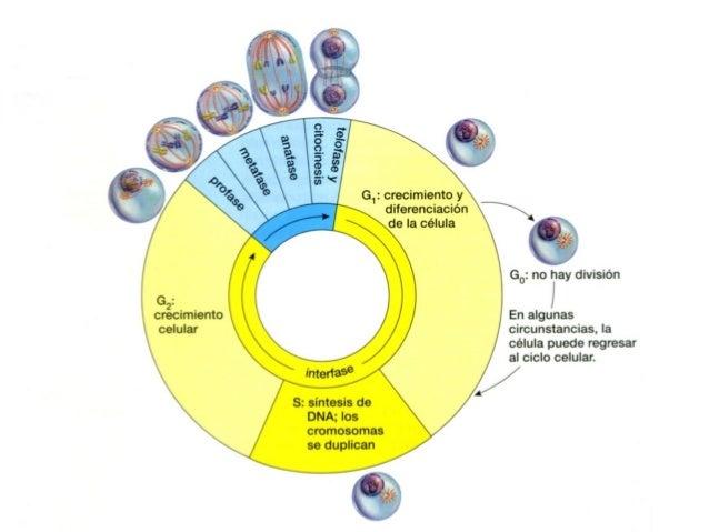 ciclo celular de las celulas eucariotas y procariotas