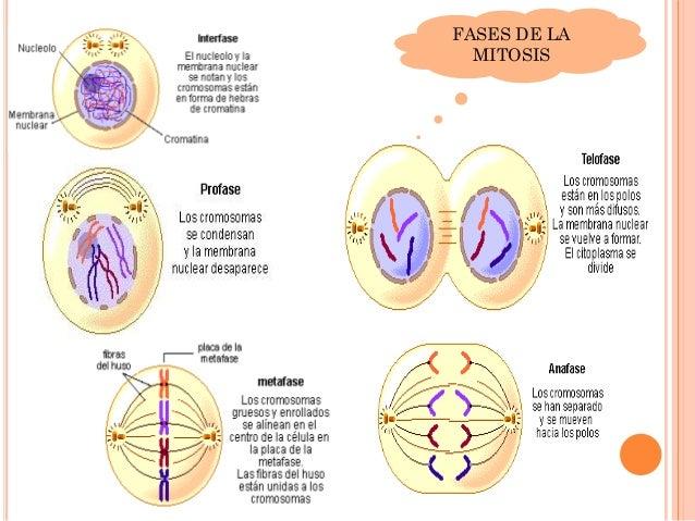 Meiosis Cycle Ciclo celular mitosis ...