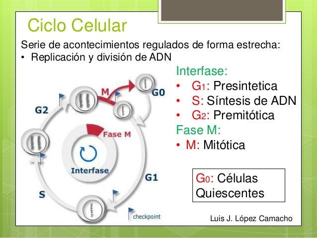 Ciclo celular y regulacion de la replicacion celular.ppt Slide 3