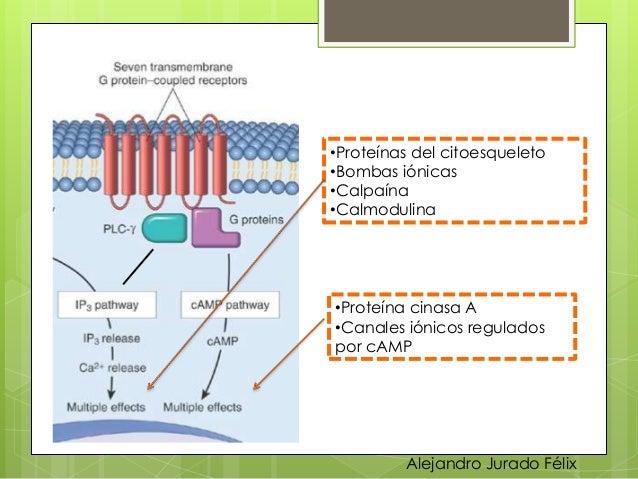 Ciclo celular y regulacion de la replicacion celular.ppt Slide 58
