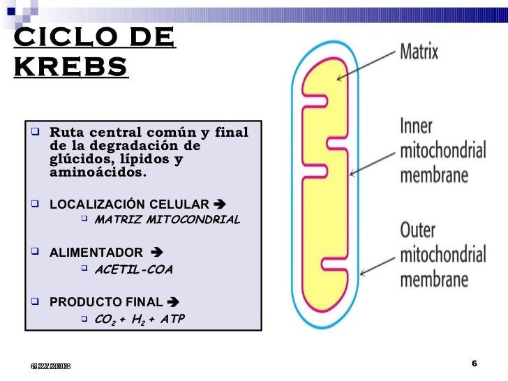 MITOCHONDRIA Y CICLO DE KREBS PDF DOWNLOAD