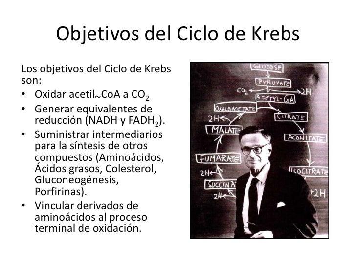 Ciclo de krebs Slide 2