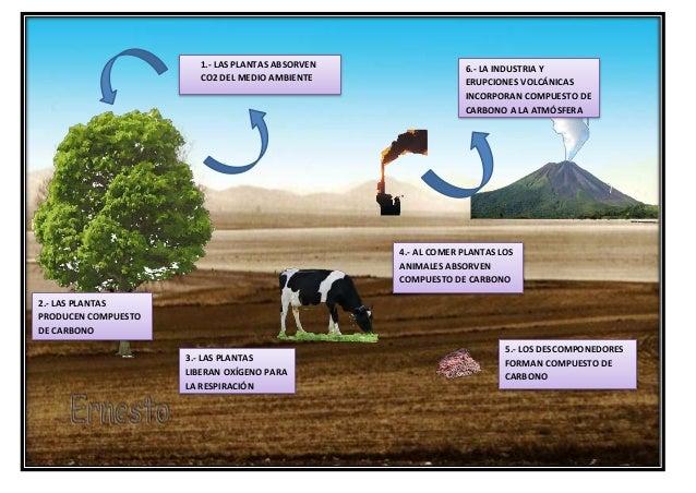 5.- LOS DESCOMPONEDORES FORMAN COMPUESTO DE CARBONO 4.- AL COMER PLANTAS LOS ANIMALES ABSORVEN COMPUESTO DE CARBONO 2.- LA...
