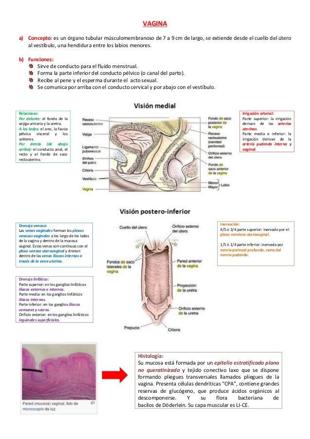 Anatomía, histología de la vagina y ciclo del epitelio vaginal.