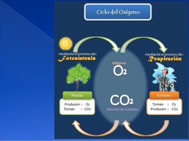  El 21% de la atmósfera es oxígeno. Una porción importante del oxígenoestá en el agua. Los organismos que hacen respiar...